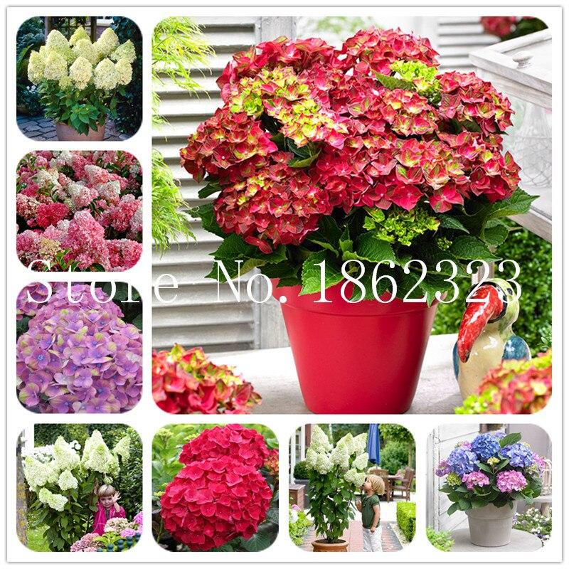 100 шт./пакет бонсай гидрангея цветок смешанный цветок гортензии карликовое дерево в горшке бонсай цветов для дома садовое насаждение