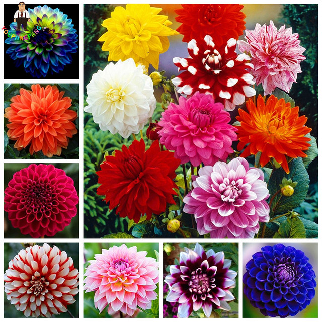 100pcs/Bag Dahlia Flower Dahlia pcs,(Not Dahlia Bulbs)Bonsai Flower bonsai Gorgeous Flower Balcony Potted Plant For Home Garde