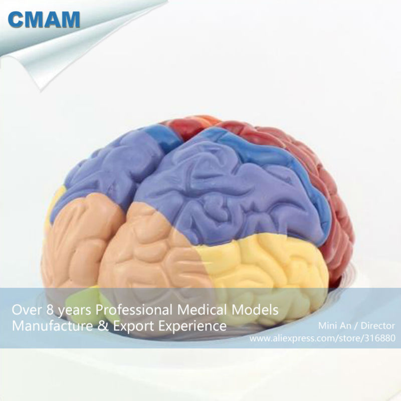 12409 CMAM BRAIN11 Advanced Medical Anatomie 2 Parts Querschnitt ...