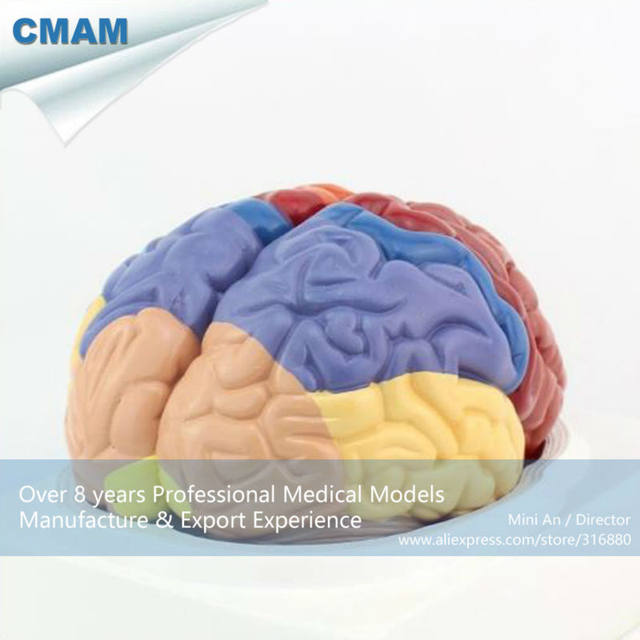 Online shop 12409 cmam brain11 advanced medical anatomy 2 parts 12409 cmam brain11 advanced medical anatomy 2 parts cross section human brain model anatomy models brain models ccuart Images