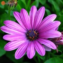New Arrivals 100pcs / bag Purple Red Chrysanthemum Gazania Seed Perennial Flowering Plants Potted Flowers Seeds DIY Home Garden