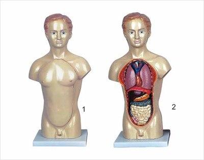 45 CM Anatomischen models der stamm eingeweide des menschlichen ...