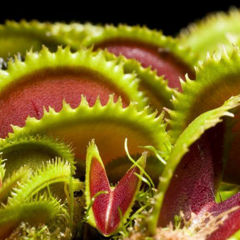 Insectivorous seed Garden Plant Seeds Bonsai Family Potted  Giant Clip Venus Flytrap Seeds Замок