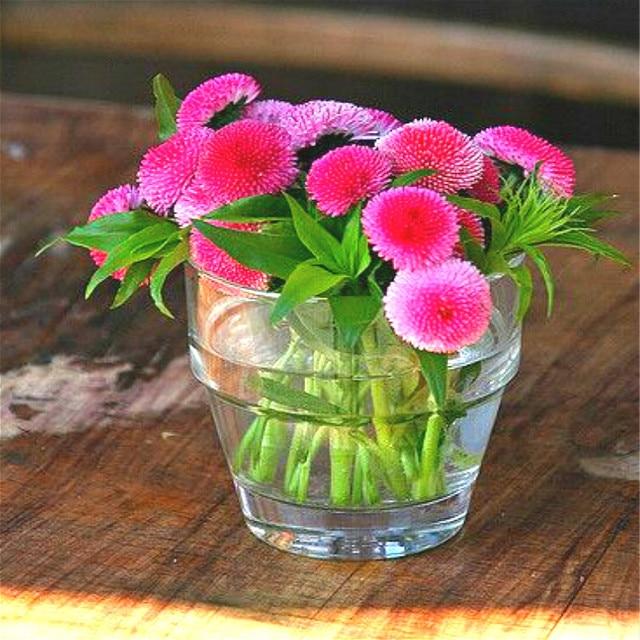 300 pink english daisy bellis plants of garden flowers perennial cut 300 pink english daisy bellis plants of garden flowers perennial cut flowers diy home plant mightylinksfo