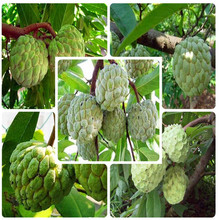 5pcs Bonsai Soursop Fruit Graviola Annona Muricata Plant MultiColor Sweetsop Delicious Sweet Fruit Sugar Apple Plant home garden 10 bags bag cherimoya fruit pot plant plant family bonsai plant health sugar apple sweetsop annona tree plant