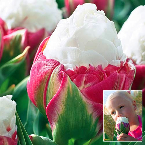 Rainbow Tulip Seeds,Potted Flower Seeds,Flower Seeds of Rare Species, 10seeds / bag watch bonsai