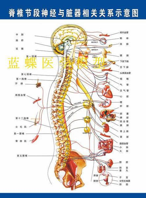 Vertebral nerve organ correlation with the schematic map of the ...
