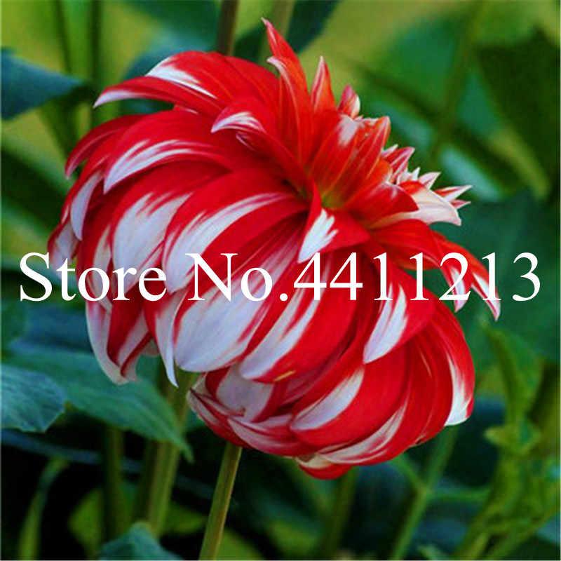 100 pcs Multi-color dahlia Bonsai, dahlia flower planta, Outdoor Tree Charming Bonsai Flower for home garden plant pot
