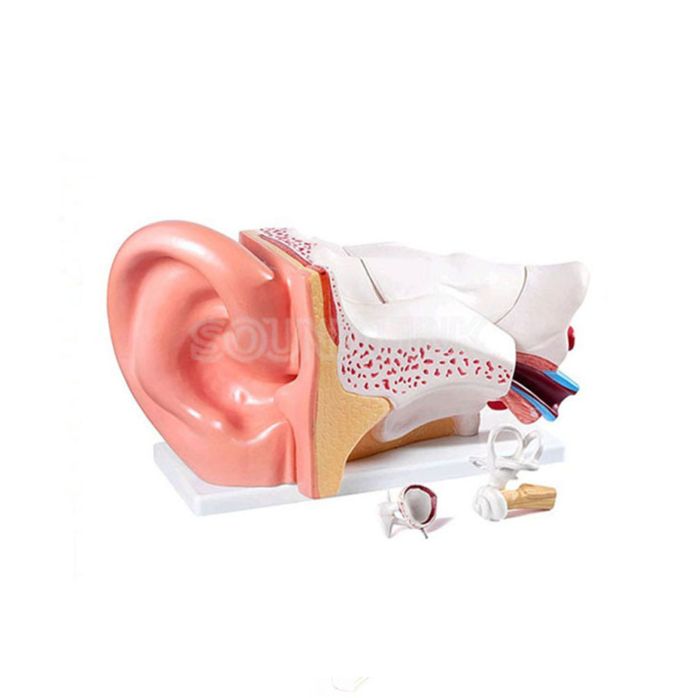 Human Ear Anatomy Model Educational Ear Model Anatomy for Hearing Aid Clinics iso sound auditory mediation model acoustoelectric control human hearing model