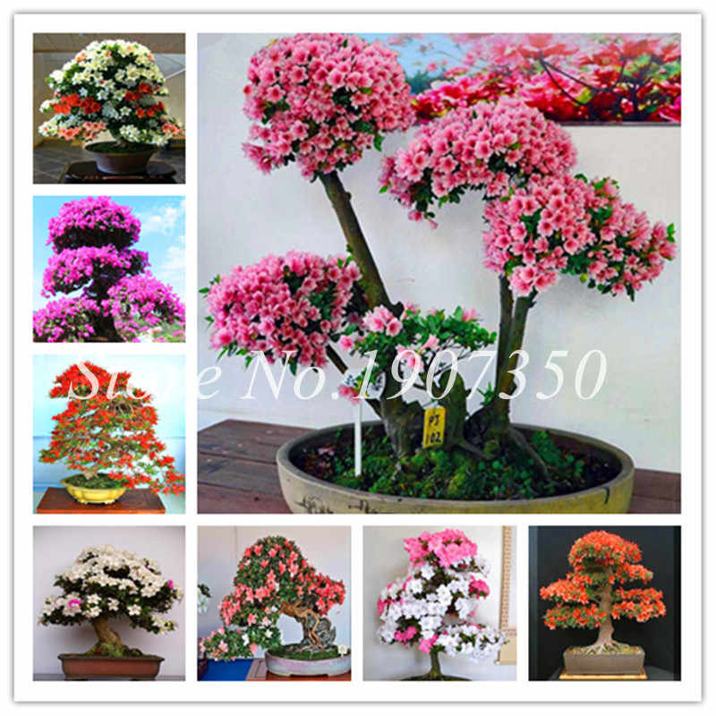 100 Pcs Azalea Bonsai Easy To Grow Rhododendron Flower Bonsai Family & Garden Flower Rare Plant Diy Indoor Or Outdoor Dwarf Tree