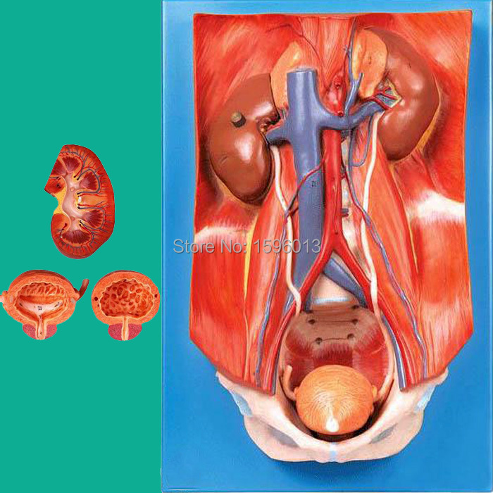 Human Urinary System Model, urinary system attached to the posterior abdominal wall model