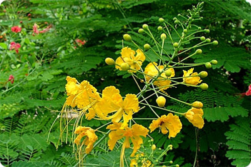 100pcslots Wholesale Yellow Pride Of Barbados Mexican Bride