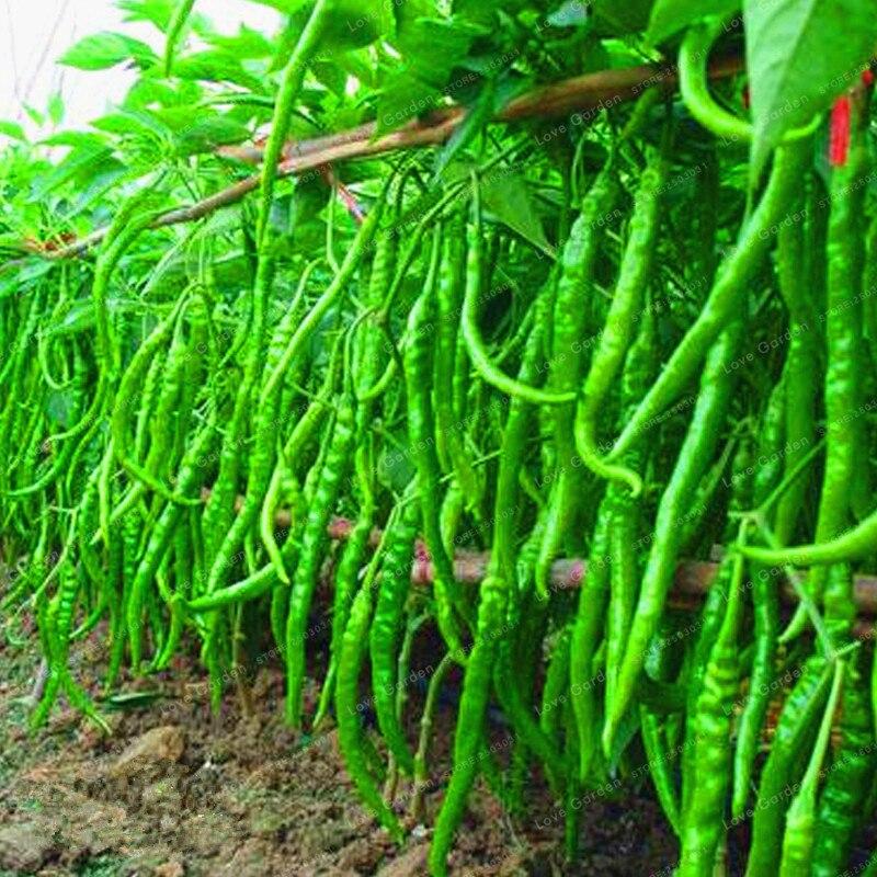 النباتات 100 Sidra إنبات