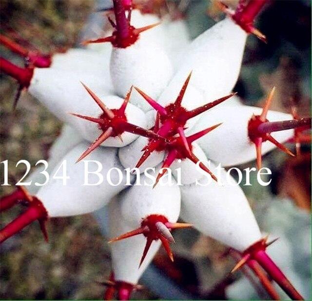 Vendita calda! Piante succulente 100 pz Euphorbia Obesa Bonsai, Molto Rale Cactus Pianta in Vaso di fiori per il Giardino di Impianto, facile da Coltivare