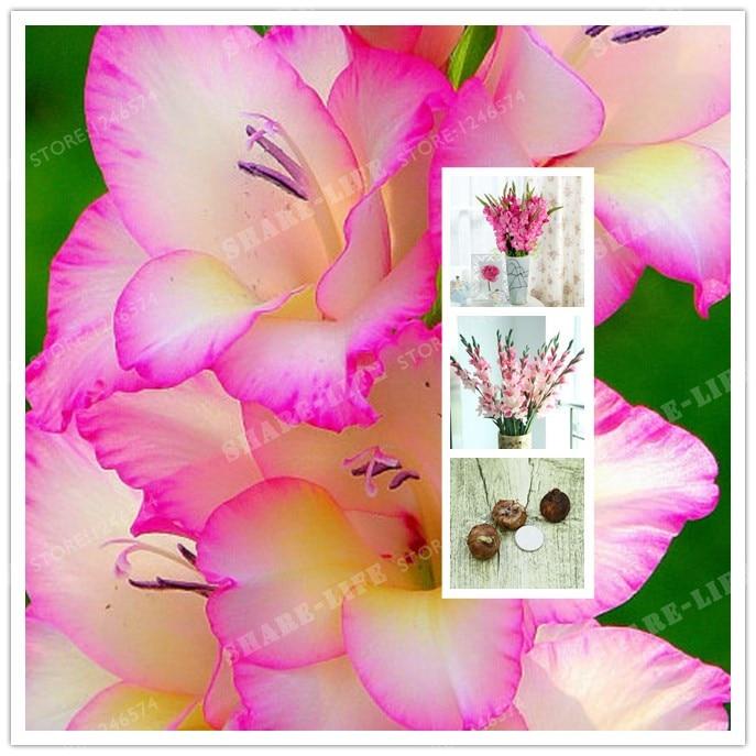 2 Bulbs Bonsai True Pink Gladiolus Bulbs Beautiful Gladiolus Flower Flower Symbolizes Longevity Plant Garden Bonsai