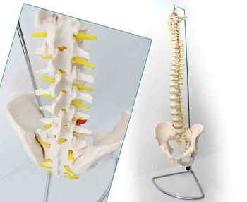 Human spine model 1: 1 spine cervical spine lumbar vertebrae pelvic orthopedic model фото