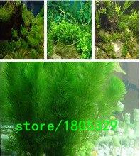 aquarium grass seeds (water grasses random) aquatic plant grass seeds family easy plant seeds – 100 PCS