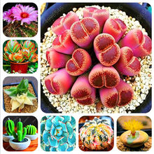 500/bag real mini juicy cactus bonsai rare juicy perennial herb flowers indoor plants home garden decoration(China)
