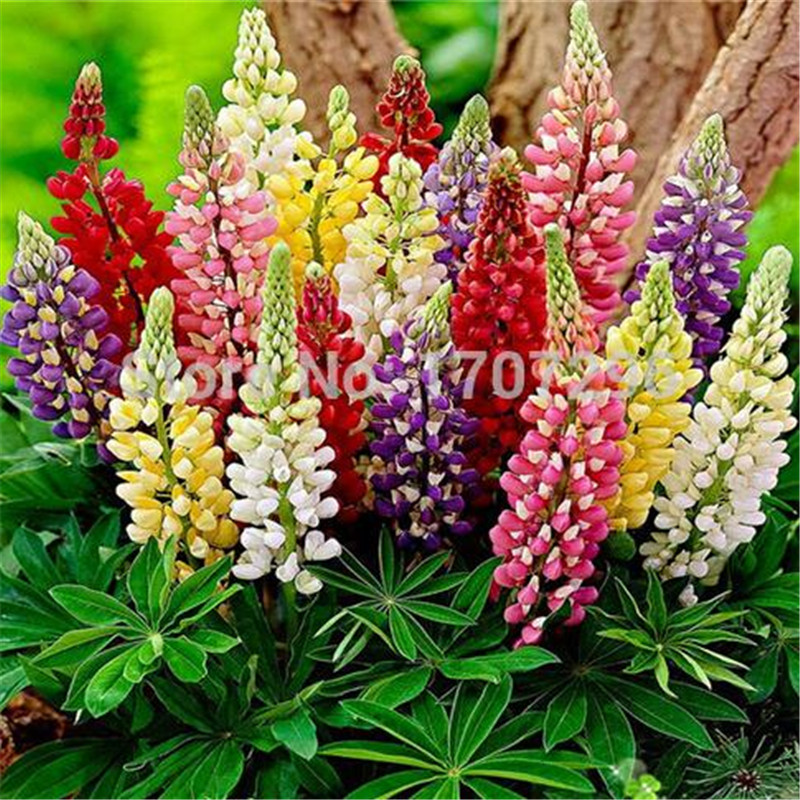 Colorful Rainbow Tutti Frutti Lupine Flower Seeds Ornamental flowers - 10 pcs / lot