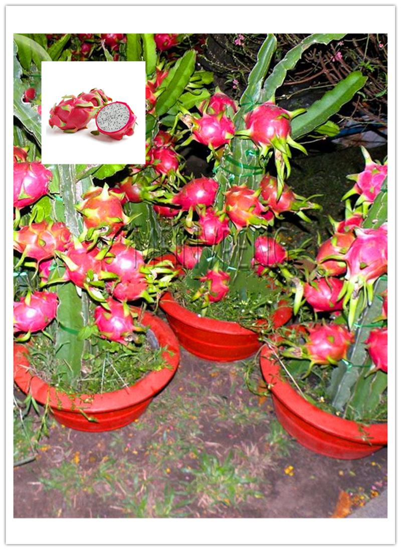 500 Pcs/ Bag Imported Red Pitaya Plant Japanese Juicy Non-GMO Bonsai Dragon Fruit Home Garden Potted DIY Easy To Grow