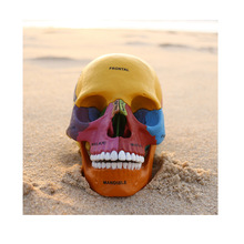 Dental lab Golbe 4D Human Head Anatomy Medical Colorful Didactic Exploded Skull model skeleton for sale
