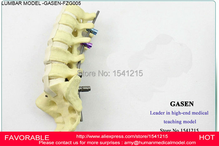 LUMBAR SPINE INCLUDE THIGH-BONE MODEL, LUMBAR SPINE SPINE MODEL OF THE HUMAN MINOR PELVIS,HUMAN LUMBAR SPINE MODEL -GASEN-FZG005