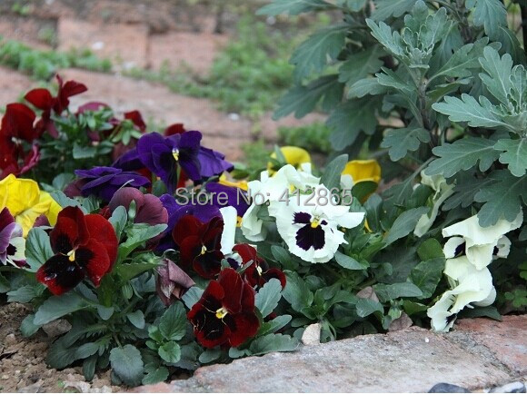 30pcs/pack Rare Flower Seeds White Pansy Seeds, Cold Resitance Perennial Home Decoration Bonsai Flowers Seed