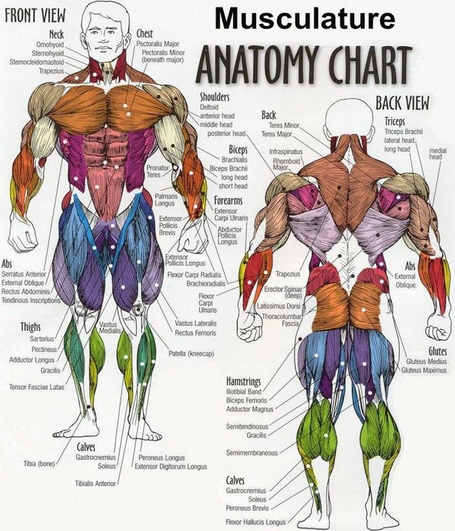 Cuerpo humano Anatomical Chart sistema muscular seda cartel Arte ...