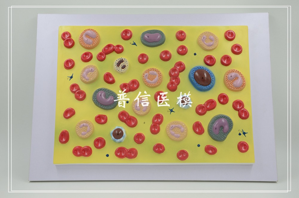 Free Shippingblood Cell Model Red Blood Cells White Blood Cells
