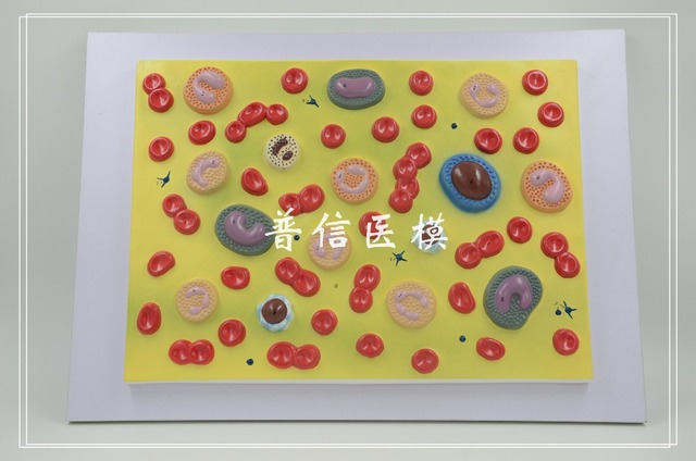 Free shipping&Blood cell model, red blood cells, white blood cells ...