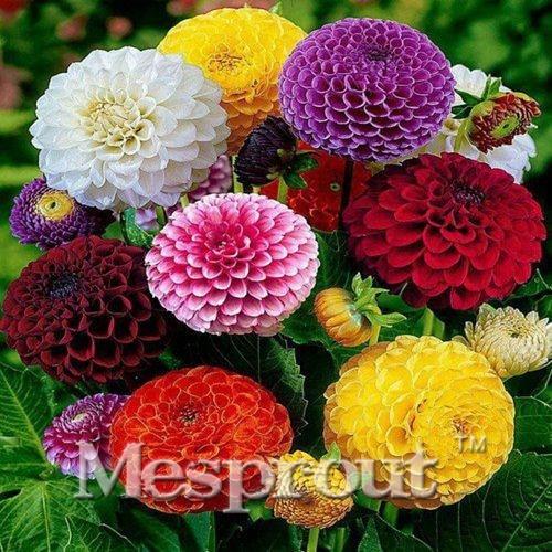 Hot Sale! Zinnia Elegans Seeds True Beautiful Fireball Flower Seeds Red Yellow Purple Multicolor Chrysanthemum Seeds - 100 pcs M