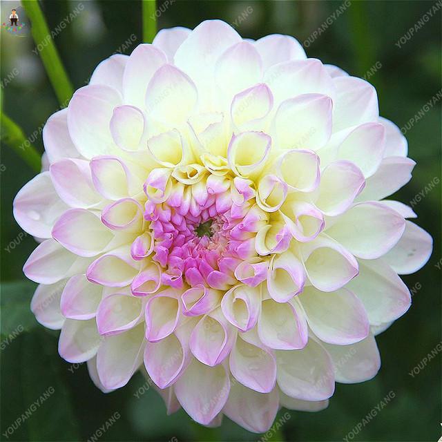 100Pcs Gorgeous Dahlia Flower (Not Dahlia Bulbs) Beautiful Dahlia Bonsai Flower Balcony Potted Plants For Home Garden