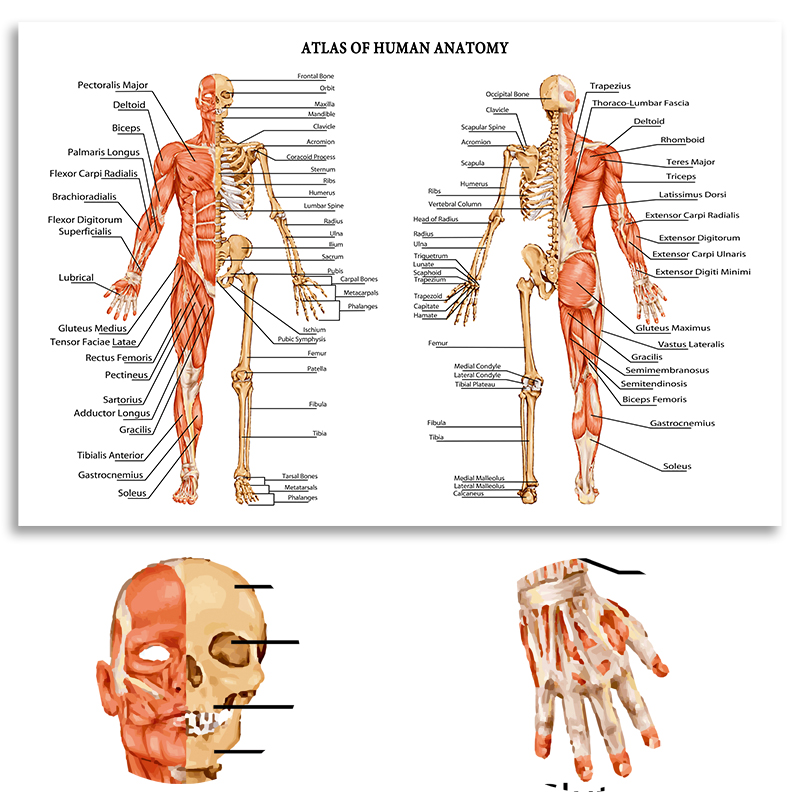 Hd Atlas Human Anatomy Musculoskeletal Human Body Modern Science