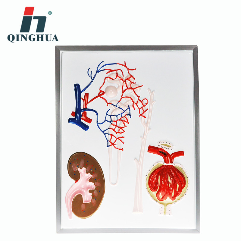Nephron and Renal Model of Biomedical Demonstration Teaching Resources School Supplies clock table model teacher demonstration with primary school mathematics science and education equipment three needle linkage