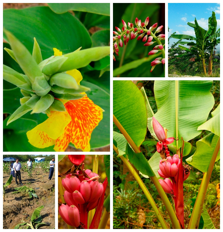 100/bag banana seeds fruit seeds rare big hainan Pink Banana Seeds  Musa Velutina – Dwarf Pink Banana Seeds