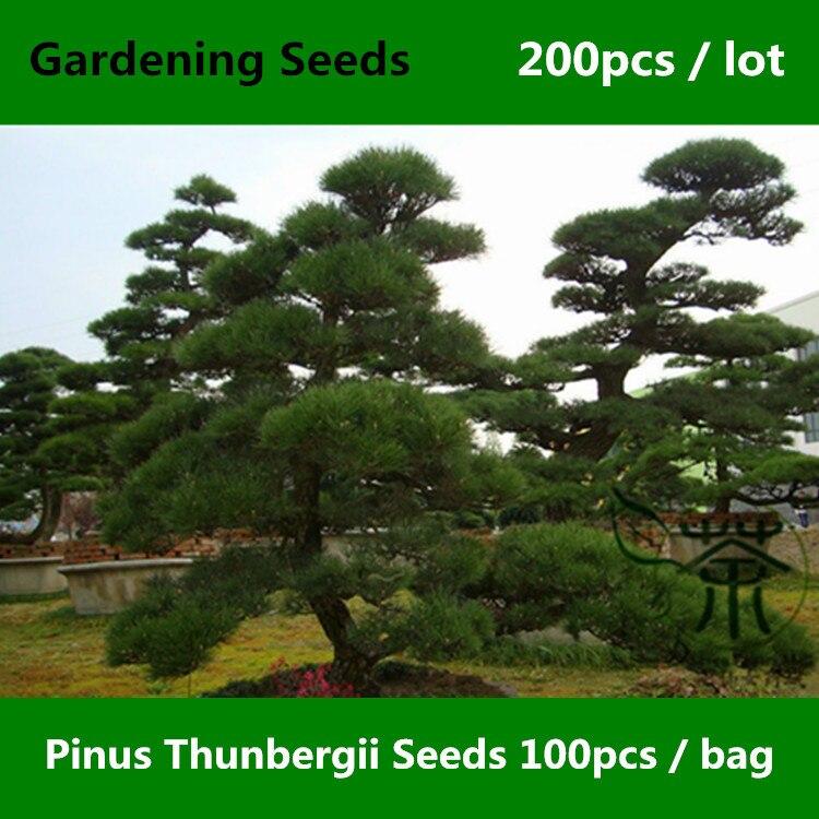 ᐂ^ Árbol Evergreen Pinus Thunbergii ^ 200 piezas, familia Pinaceae ...