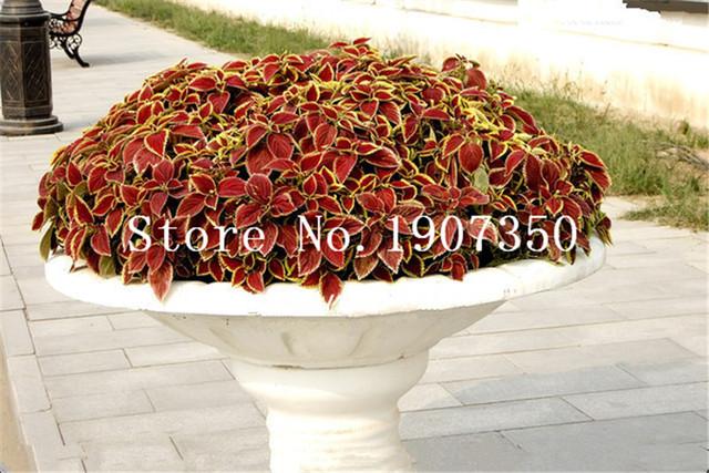 200 pcs Coleus plants Rare Rainbow Coleus blumei bonsai Japanese Flower plants bonsai plants FOR Home Garden men gift Semente