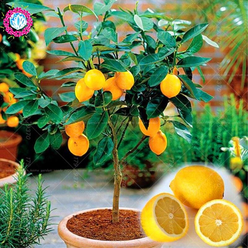 40 шт. съедобные фрукты Meyer лимон, экзотические цитрусовый бонсай Lemon Tree свежие овощи и фрукты для дома и сада горшок завод