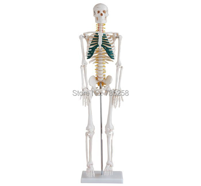 ᗖ85 cm esqueleto con nervios espinales, cuerpo humano modelo de ...
