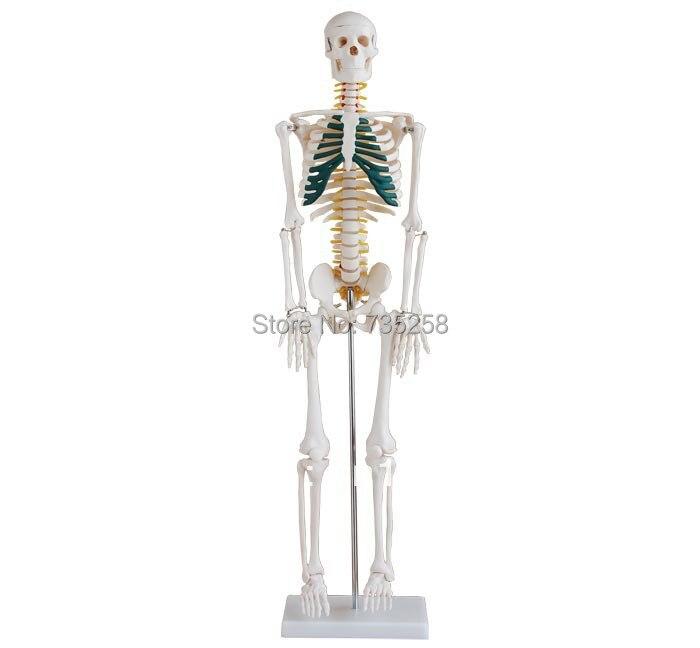 85cm Skeleton with Spinal Nerves,Human body skeleton model with nerve bix a1004 85cm human spinal nerves skeleton model g119