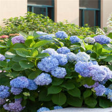 Bonsai 20 Pcs Multiple Color Choice Hydrangea Perennial Flower Plant Balcony Ornamental Garden Decoration