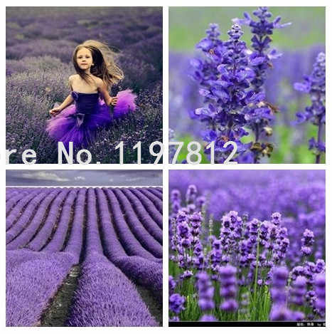 Promotion 200pcs / Bag English Lavender ,Lavender Tea Angustifolia, Imported Vanilla  Of Native Species, Free Shipping