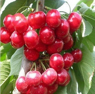 Sweet Cherry Fruit Pictures