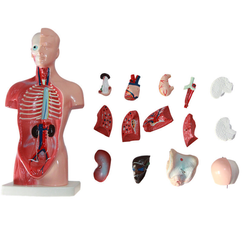 Human Torso model 26CM human internal organs Human Anatomy Torso anatomical model Medical supplies for school teaching mini human uterus assembly model assembled human anatomy model gift for children