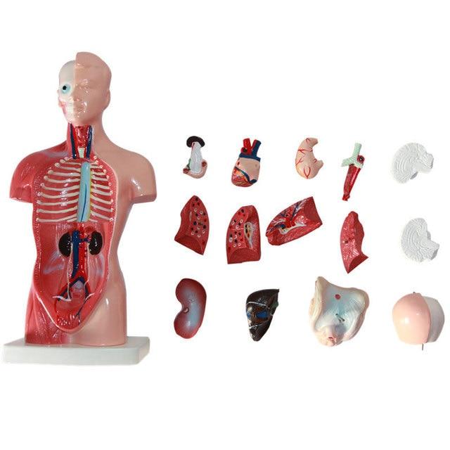 Human Torso Model 26cm Human Internal Organs Human Anatomy Torso