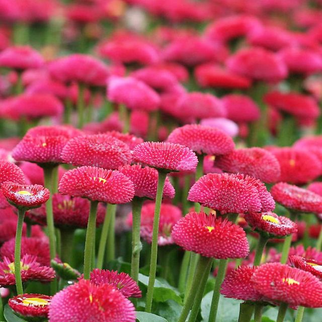 Rare 400 pink english daisy seeds perennial cut flowers diy home rare 400 pink english daisy seeds perennial cut flowers diy home garden plant mightylinksfo