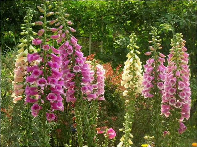 60grainsbag perennial flower seeds original package common 60grainsbag perennial flower seeds original package common foxglove seeds pot flower plant garden mightylinksfo