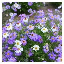 лучшая цена Five-Color-Chrysanthemum Seeds Newly Picked Seeds 4Seasons Easy to Seed Balcony Easy to Live Grass Large Amount of Flower-500PCS