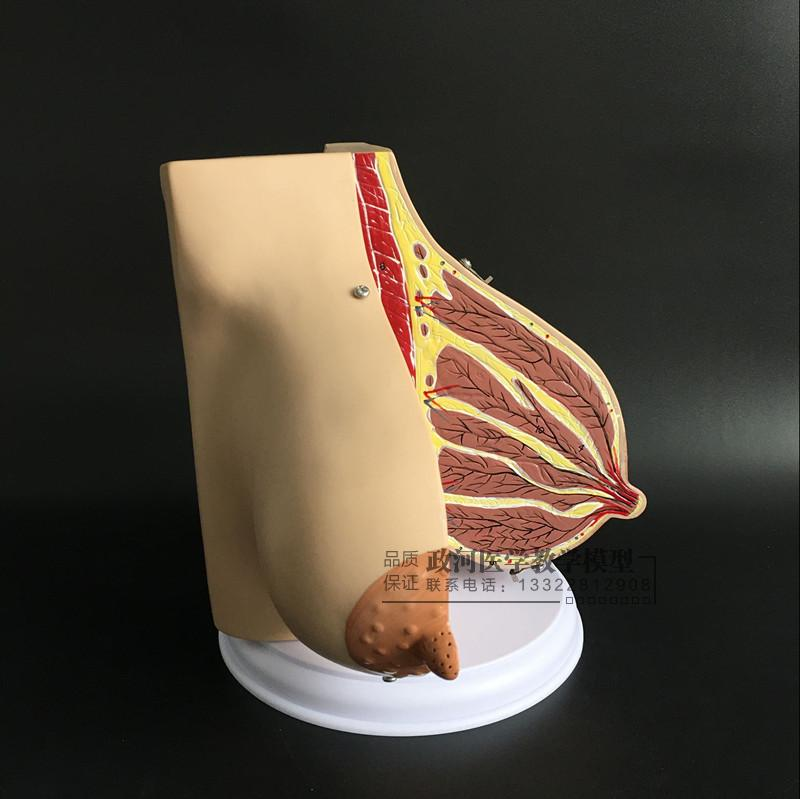 Female Lactation Breast Anatomy Model educational model