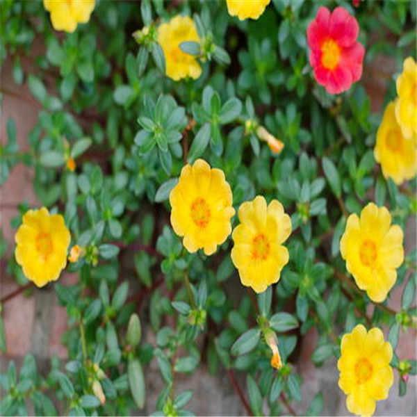 100 Pcs Colore Misto Moss-Rose Portulaca Fiore Doppio Bonsai Per La Semina (Portulaca Grandiflora) calore Tollerante Facile Crescere